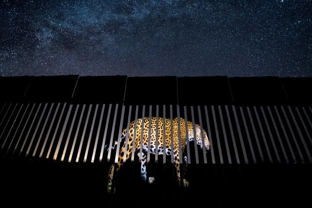 «Запрещённый мигрант». Изображение ягуара проецируется на границе США и Мексики. Победитель в категории «Дикая природа в жанре фотожурналистики». Автор Алехандро Прието