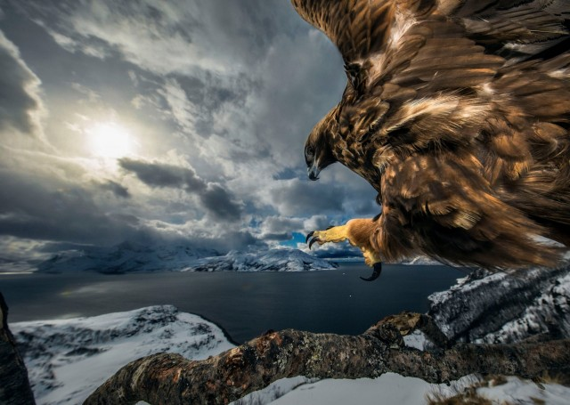 «Земля орла», Норвегия. Победитель в категории «Поведение птиц». Автор Аудун Рикардсен