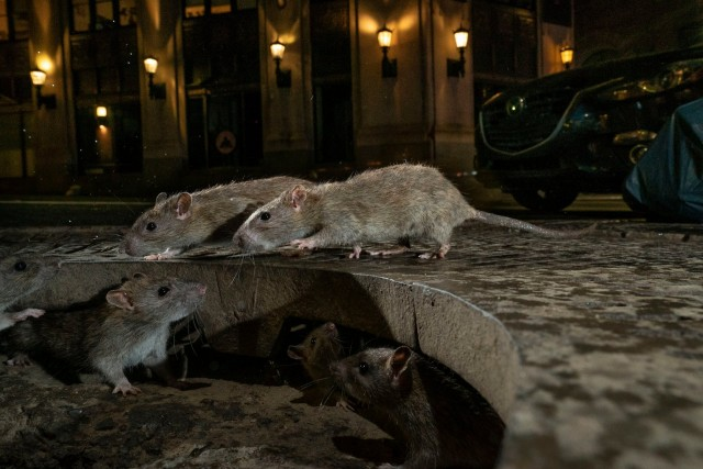 «Крысиная стая», Нижний Манхэттен, Нью-Йорк. Победитель в категории «Городская живая природа». Автор Чарли Хэмилтон Джеймс