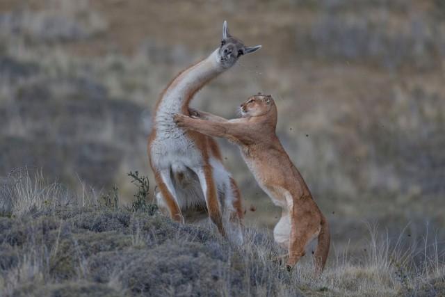 «Равный поединок». Пума атакует гуанако в Патагонии, Чили. Победитель в категории «Поведение млекопитающих». Автор Инго Арндт