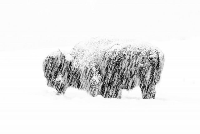 Бизон в снежную бурю в Йеллоустонском национальном парке. Победитель в категории «Чёрно-белое фото». Автор Макс Во