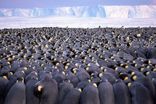Императорские пингвины на льдах залива Атка в Антарктиде. Лауреат премии «Фотограф года дикой природы, портфолио». Автор Штефан Кристманн