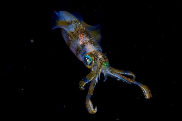 Кальмар в проливе Лембех у Северного Сулавеси, Индонезия. «Молодой фотограф дикой природы года», победитель в номинации 11-14 лет. Автор Круз Эрдманн