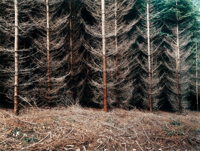 Еловая плантация. Мюльфиртель, 2000. Фотограф Симона Нивег