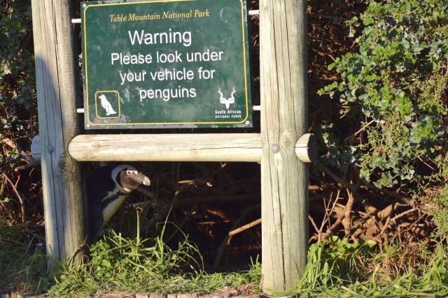 Comedy Wildlife Photo Awards 2020. «Пожалуйста, проверяйте, нет ли пингвинов под машиной». Автор Перл Каспариан
