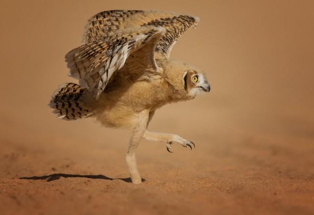 Comedy Wildlife Photo Awards 2020. «Почему я не взлетаю?» Автор Надер Альшаммари