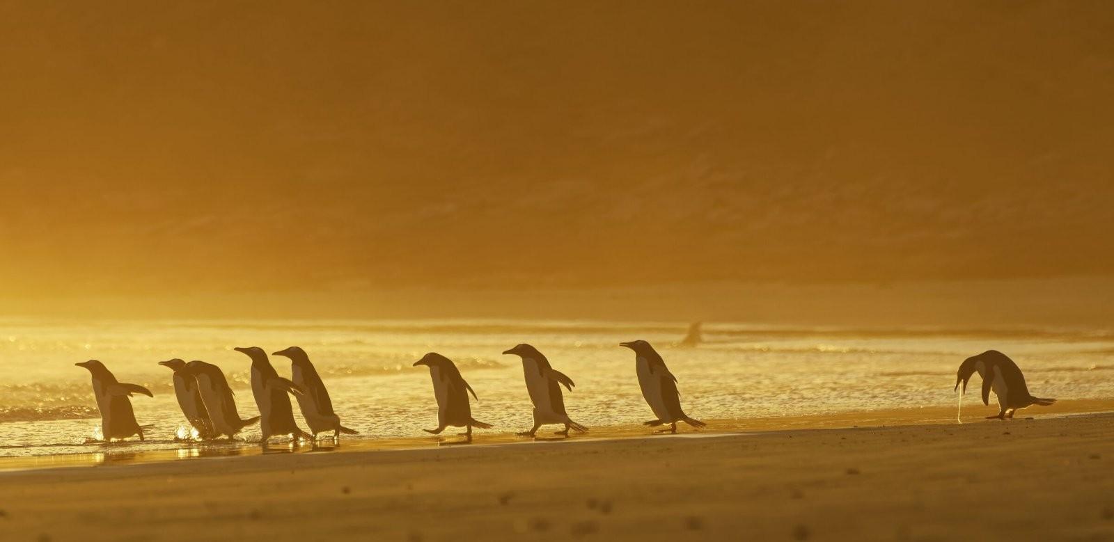 Comedy Wildlife Photo Awards 2020. Блюющий пингвин. Автор Кристина Хольфельдер