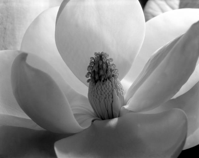 Цветок магнолии, 1925. Фотограф Имоджен Каннингем