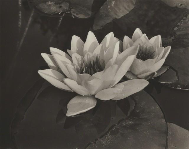 Водяные лилии, 1932. Фотограф Альма Лэвенсон
