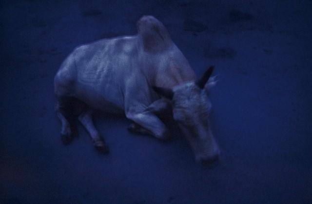 Священная Корова, Ришикеш, Индия, 2000 год. Фотограф Долорес Марат
