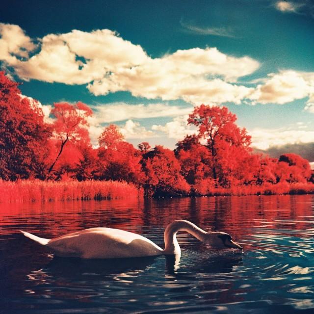 Лебедь. Фотограф lazybuddha