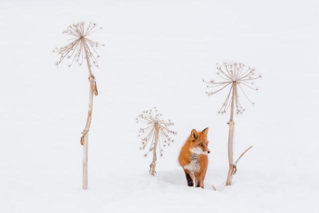 Лис в стеблях борщевика. Автор Денис Будьков