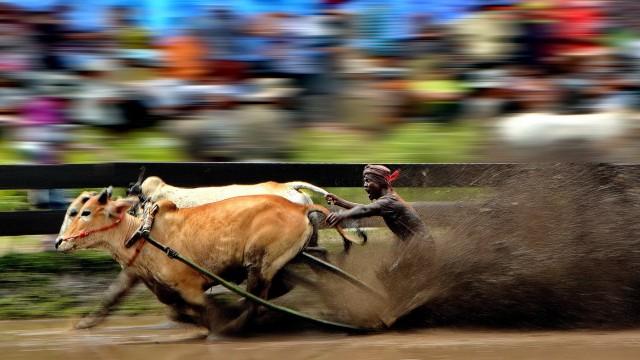 Гонки бычьих упряжек, Мадура. Автор Нгуан Ви Йонг