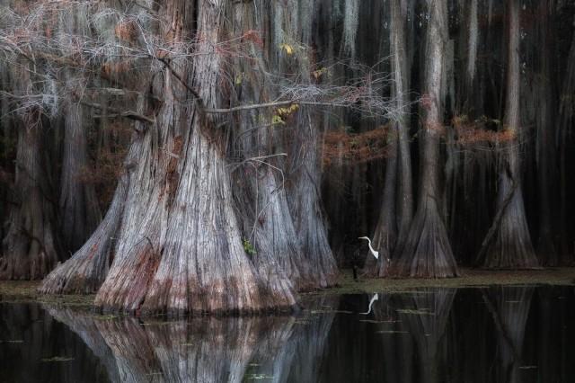 Кипарисовые болота Луизианы. Автор Дмитрий Архипов