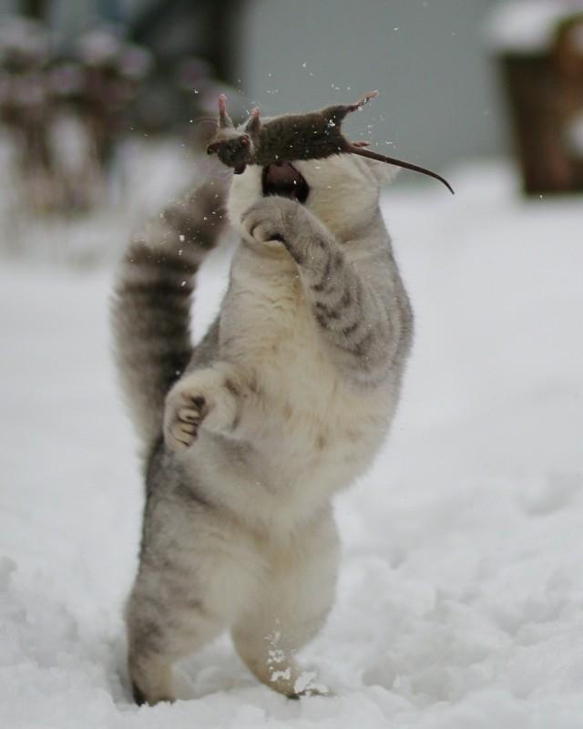 «Охота». Кот играет с мышкой, Мытищи. Фотограф Светлана Богомолова