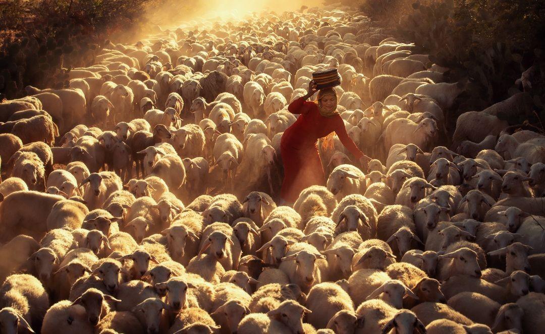 Овечье стадо возвращается. Фанранг, Вьетнам. Фотограф Нгуен Тан Туан