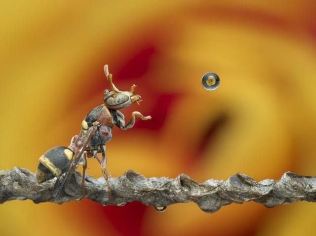 Оса и водяной пузырь. Фотограф Lim Choo How