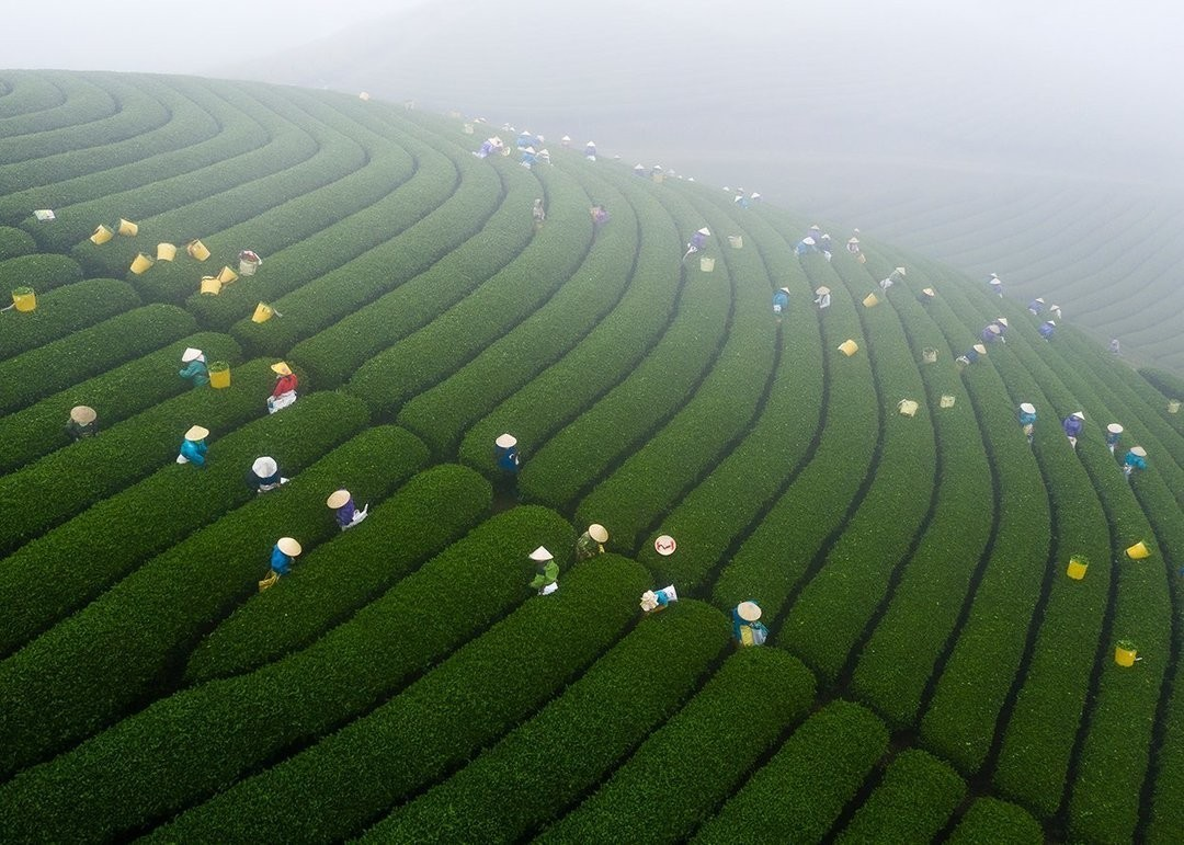 Сезон сбора чая. Фотограф Bùi Việt Đức