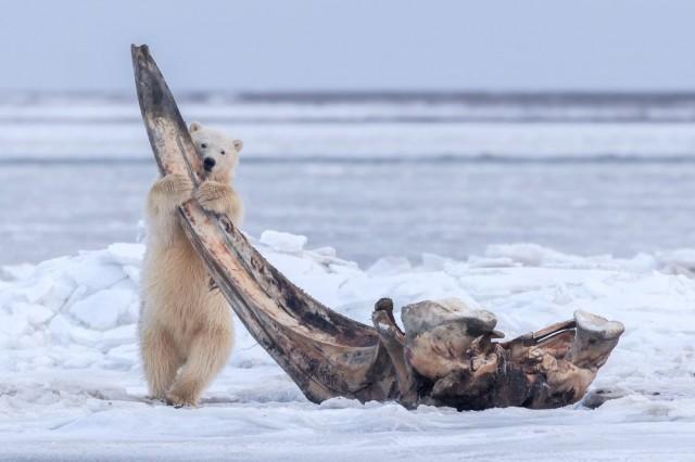 Белый медвежонок. Кактовик, Аляска. Фотограф Эйдзи Итояма