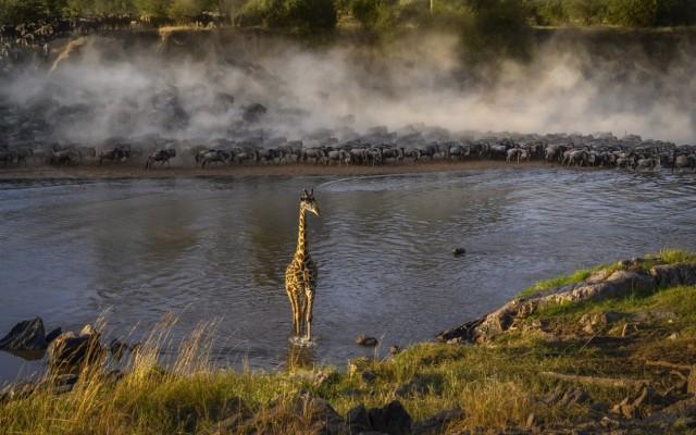 Поощрительная премия в категории «Животные в своей среде», 2020. Жираф посреди реки Мара в парке Серенгети. Автор Артур Станкиевич