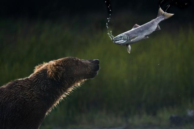 Поощрительная премия в категории «Животные в своей среде», 2020. Медведь на рыбалке. Автор Томас Виджаян