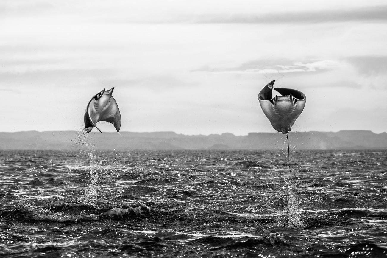 Поощрительная премия в категории «Животные в своей среде», 2020. Мобулы в море Кортеса. Автор Амит Эшель