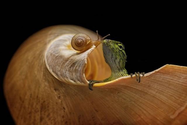 2 место в категории  «Красота природы». Ящерица и улитка, Караванг, Индонезия. Автор Анди Абдул Халил