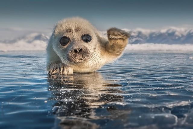 Поощрительная премия в категории «Животные в своей среде». Молодой тюлень на озере Байкал. Автор Сергей Анисимов