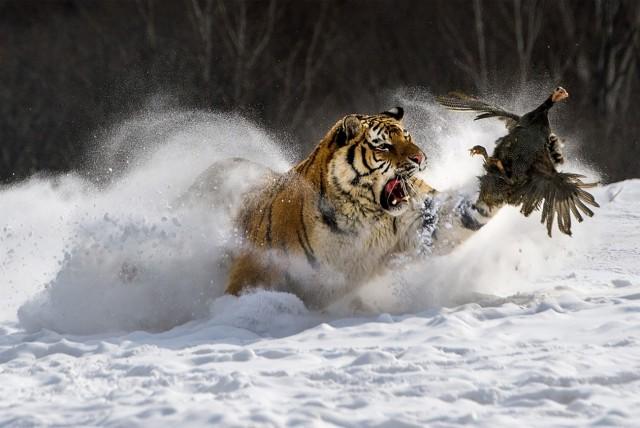 Поощрительная премия в категории «Животные в своей среде». Тигр и дичь. Автор Шоужи Ван