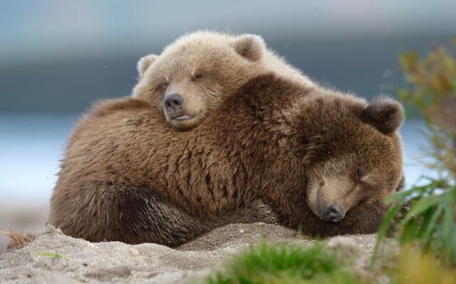 Закормленные медвежата Соня и Самсон растут во сне. Южно-Камчатский федеральный заказник. Фотограф Игорь Шпиленок
