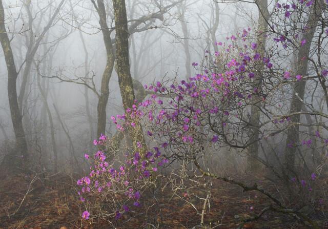 Рододендроны в начале цветения. Заповедник «Кедровая падь». Фотограф Игорь Шпиленок