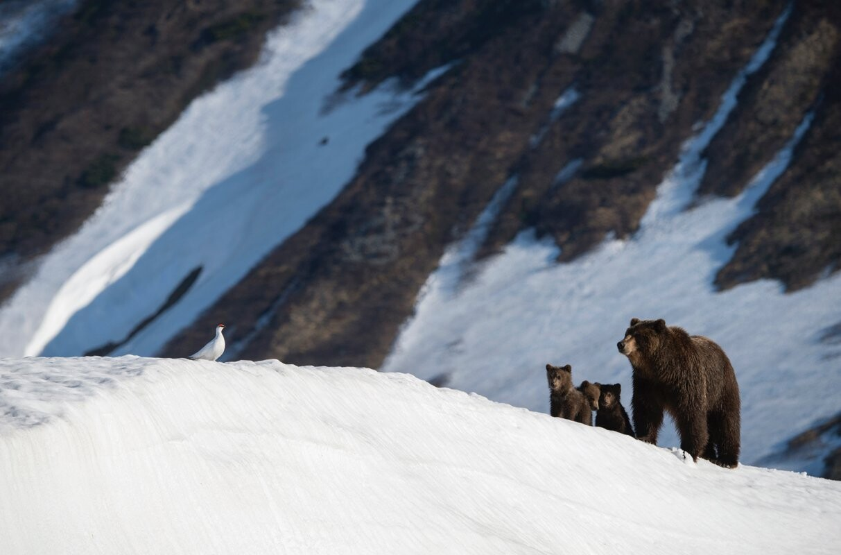 Встреча медвежьей семьи, недавно вышедшей из берлоги, с самцом тундряной куропатки, охраняющим свой участок. Южно-Камчатский федеральный заказник. Фотограф Игорь Шпиленок