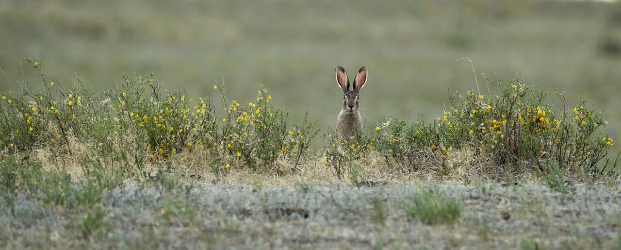 Заяц-толай, обитатель степей, пустынь и полупустынь. Даурский заповедник. Фотограф Игорь Шпиленок