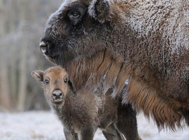Зубрёнок с мамой в заповеднике «Брянский лес». Фотограф Игорь Шпиленок
