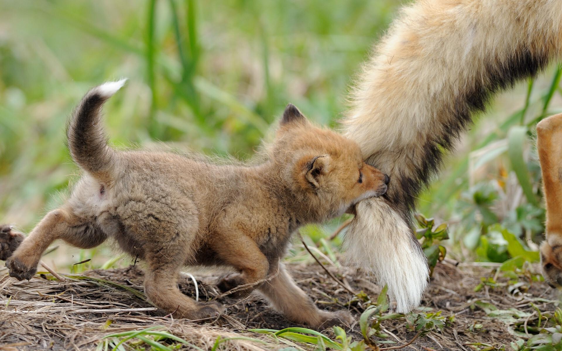 Маленький Злодеич с хвостом папы. Кроноцкий заповедник, лисы. Фотограф Игорь Шпиленок