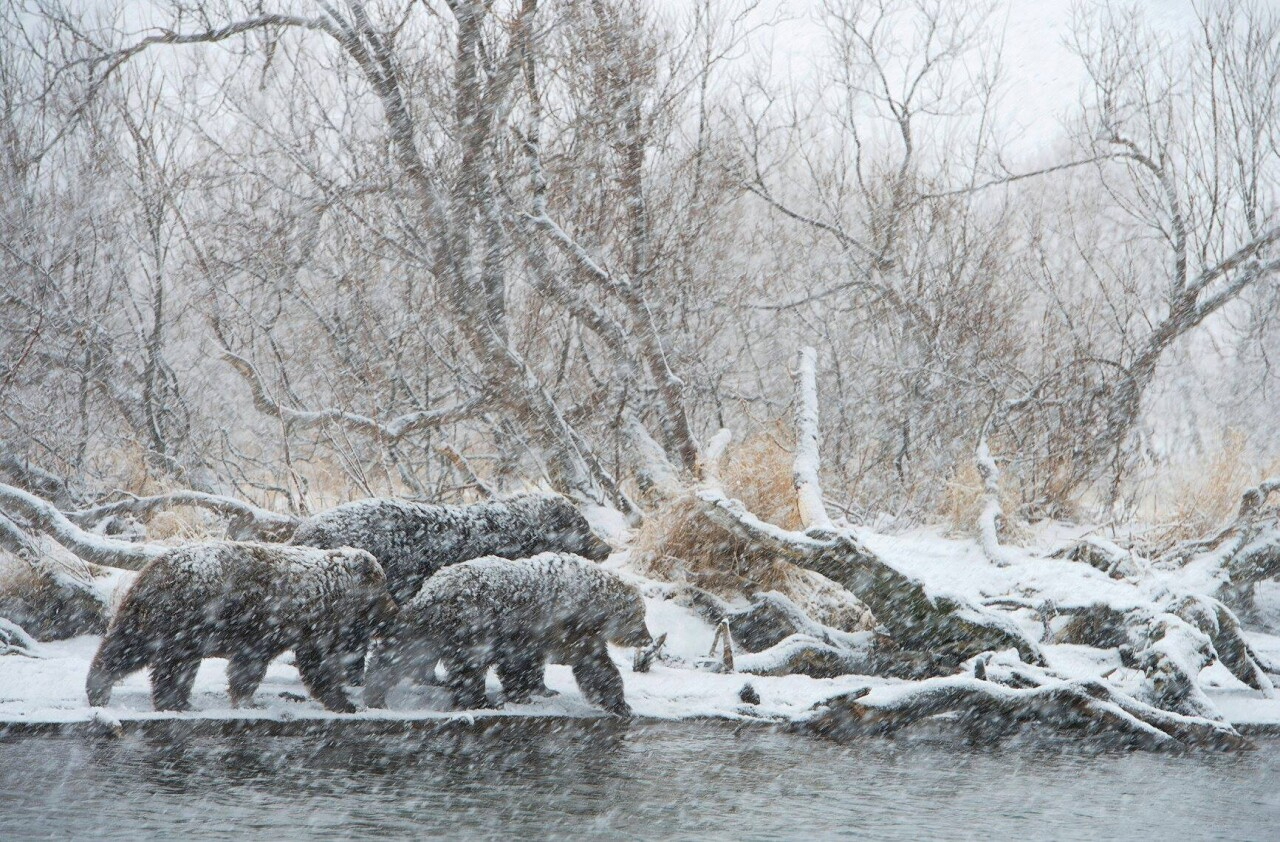 Медвежья семья во время ноябрьского снегопада в Южно-Камчатском федеральном заказнике на Камчатке. Фотограф Игорь Шпиленок