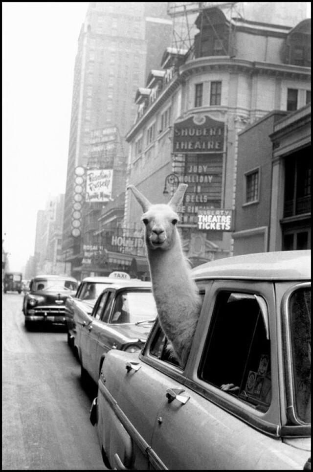 Лама на Таймс-сквер, США, Нью-Йорк, 1957 год. Фотограф Инге Морат