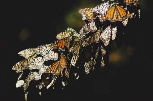Бабочки. Мексика, 1971. Фотограф Эрнст Хаас