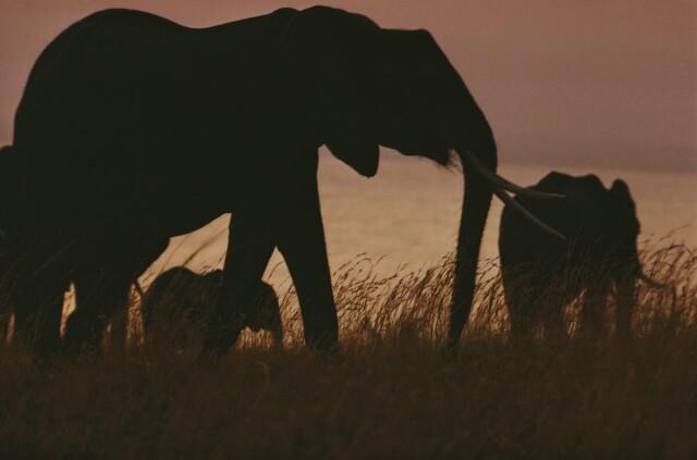 Слоны. Кения, 1970. Фотограф Эрнст Хаас