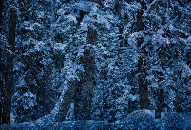 Снежные деревья, 1966. Фотограф Эрнст Хаас