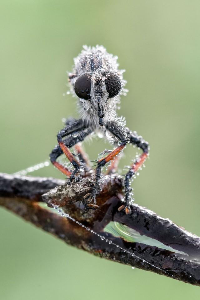 Финалист в категории «Мир природы», 2020. «Разбойничья муха (Robber Fly), покрытая росой». Автор Фрэнк Кляйн