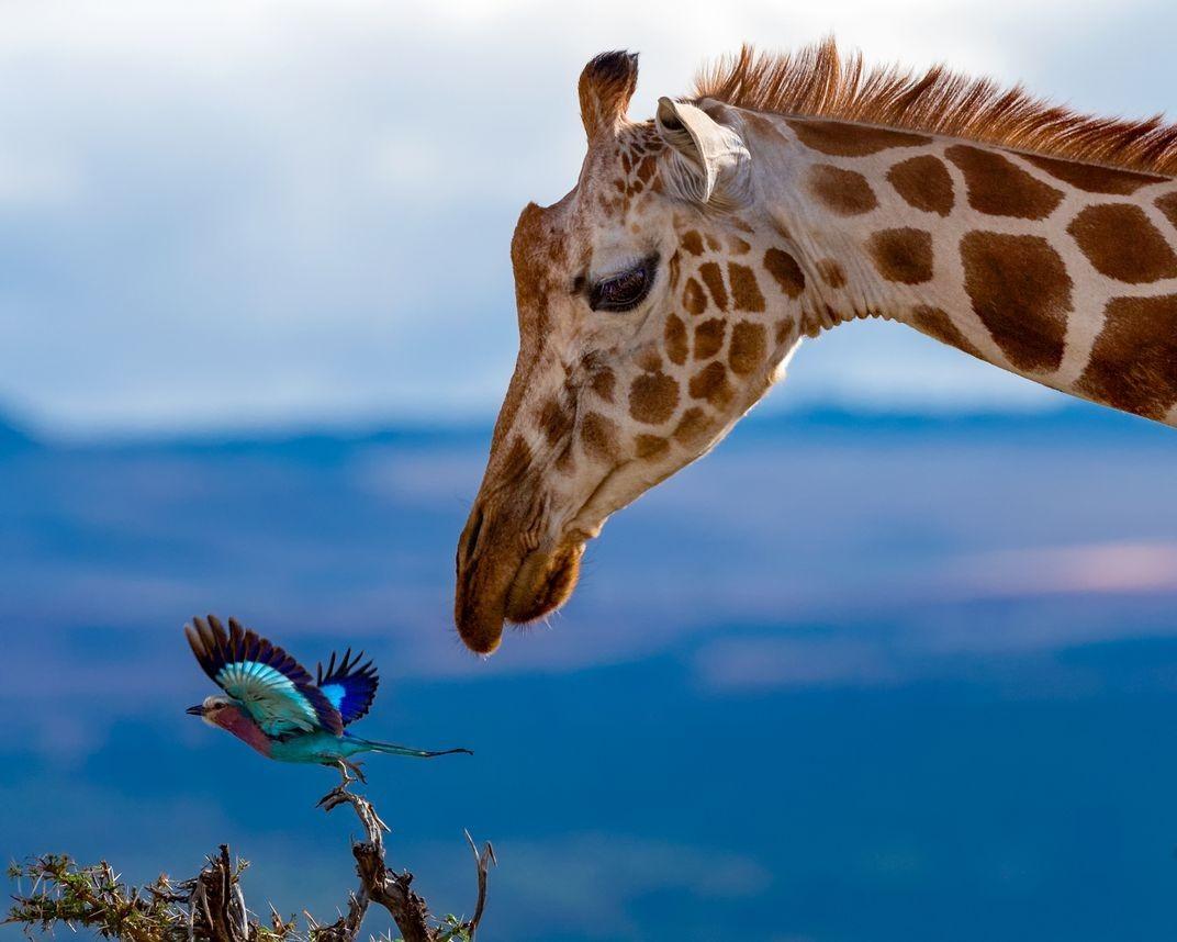 Финалист в категории «Мир природы», 2020. Жираф и птица, Кения. Автор Ярон Шмид