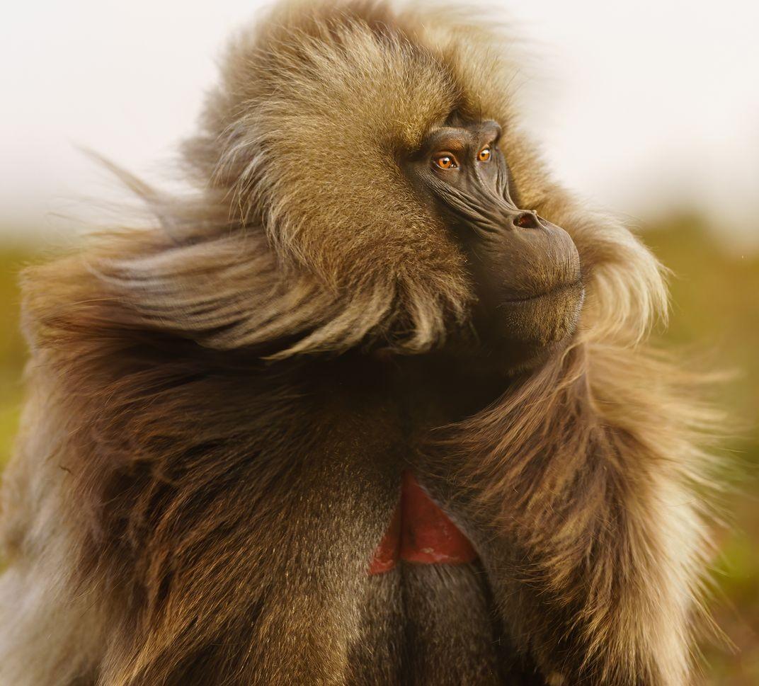 Финалист в категории «Мир природы», 2020. Самец гелады, редкого вида приматов, обитающих исключительно на горных плато Эфиопии. Автор Ли Данг