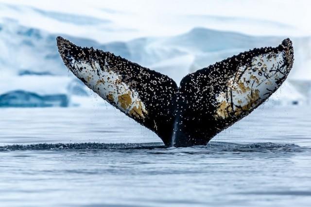 Победитель в категории «Мир природы», 2020. Китовый хвост, Антарктида. Автор Джон Комиски