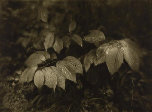 Без названия, 1950 год. Фотограф Йозеф Судек