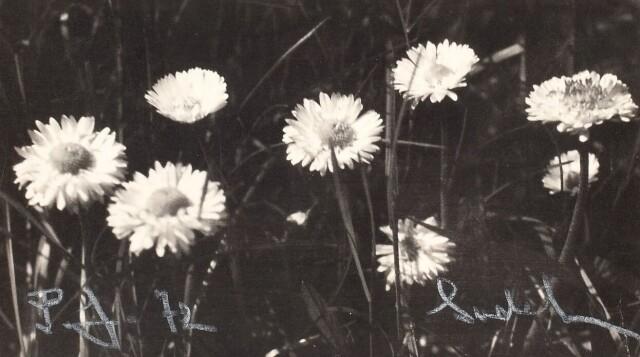 Ромашки, 1972 год. Фотограф Йозеф Судек