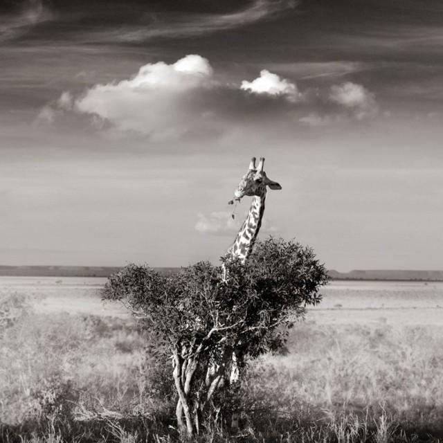 Жираф в кустах. Автор Йоахим Шмайссер