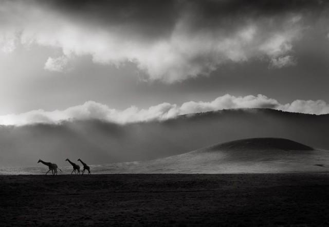 Жирафы на горизонте. Автор Йоахим Шмайссер