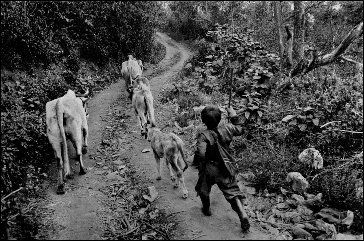 Мальчик с коровами в северном Таиланде, 1992. Джефф Уайденер