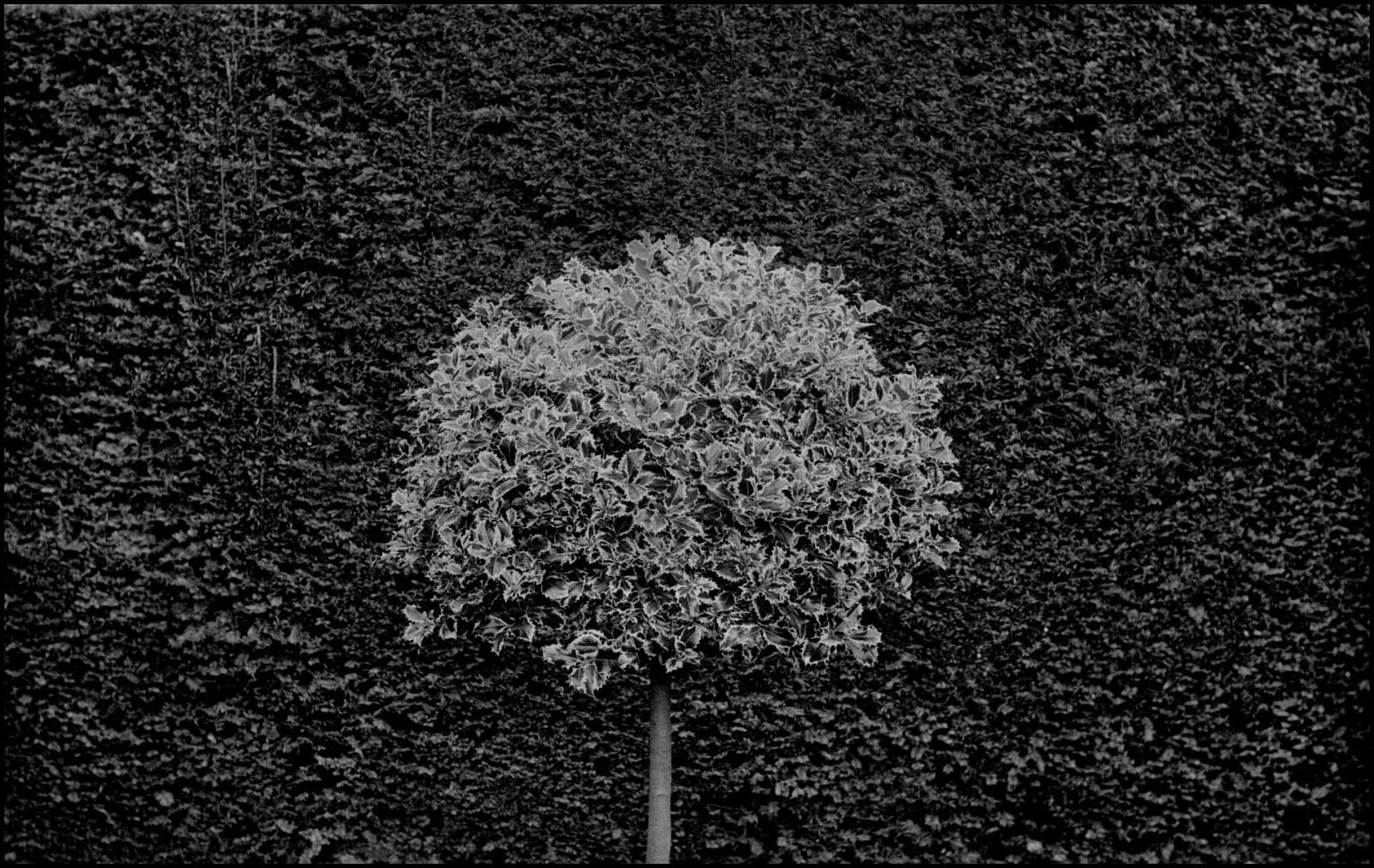 Шотландский куст, Эдинбург, 2011. Джефф Уайденер